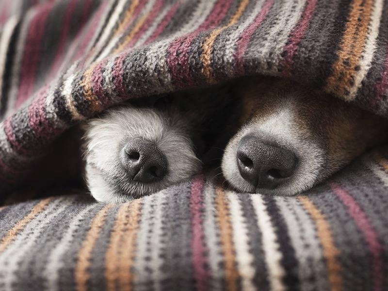 dogs under blankets