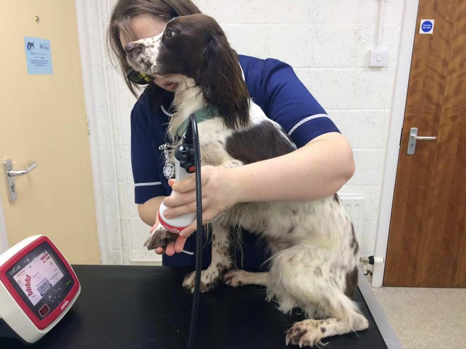Springer spaniel Meg at Wood Vets having laser therapy