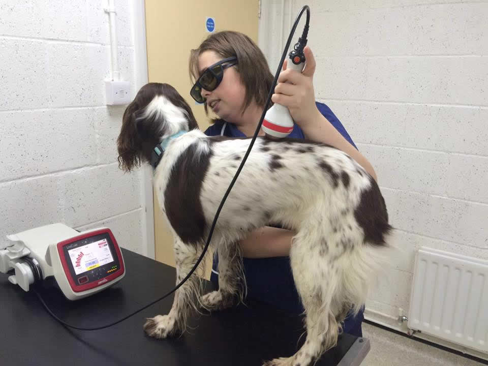 Dog having laser therapy treatment at Wood Vets