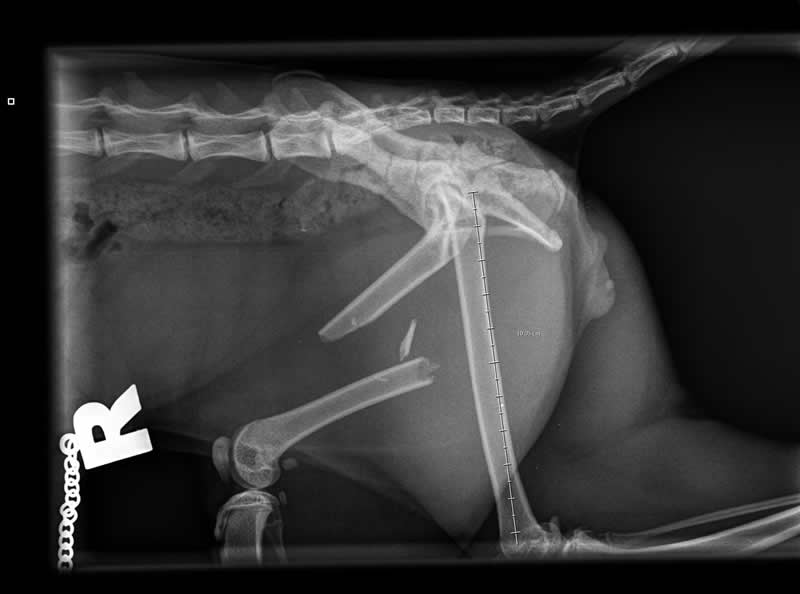 cat x-ray of fractured femur at Wood vets