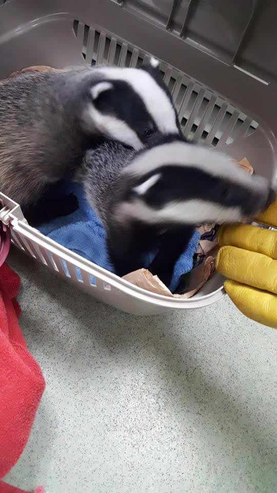 badger cubs at Wood Vets