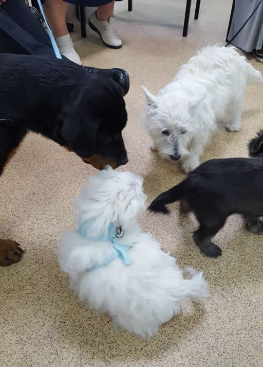 Puppies all sniffing each other at puppy party at Wood Vets Quedgeley